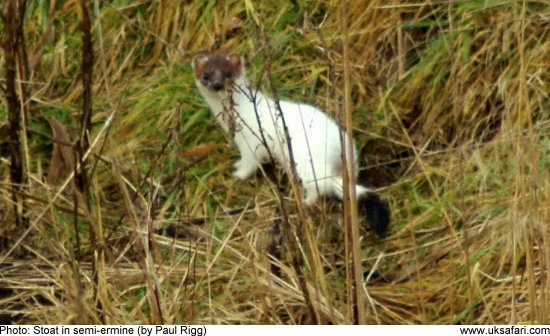 Stoat in semi-ermine by Paul Rigg