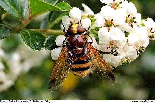 Belted Hoverfly