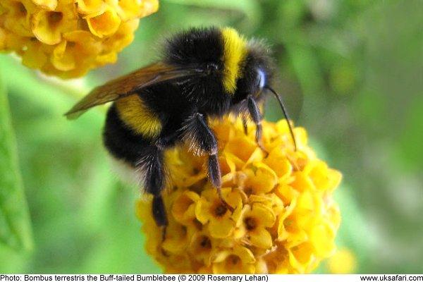 Bumblebee Englisch