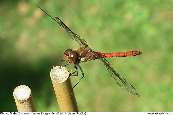 photo of a male Common Darter Dragonfly