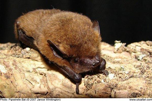 common pipistrelle bats pipistrellus pipistrellus uk safari
