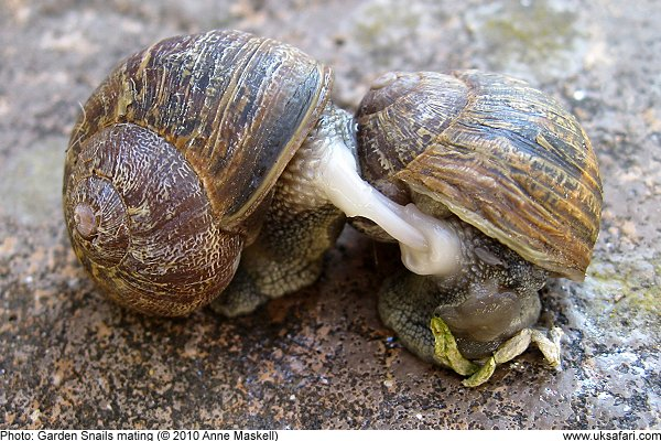 Garden Snails , Helix aspersa , UK Safari