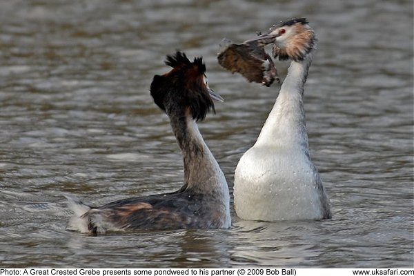 Great Crested Grebe presents his partner with pondweed