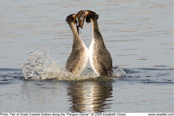 Great Crested Grebes doing the Penguin Dance