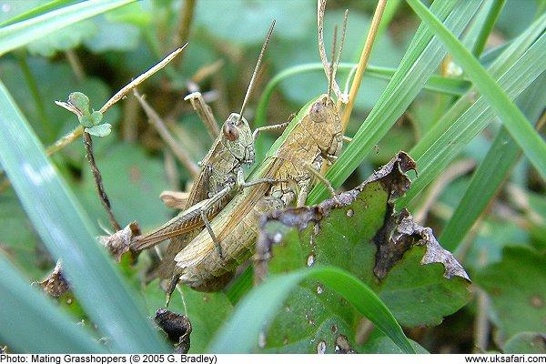 The Grasshopper Chorus - UK Safari