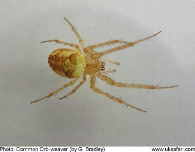 common orb weaver - Common Garden Spider
