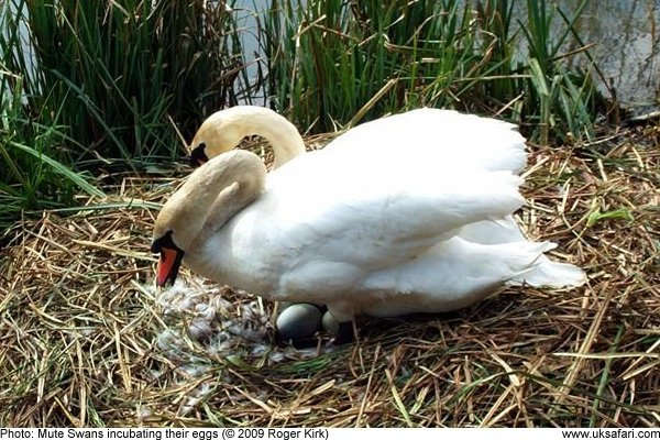 Pair of swans incubating their eggs
