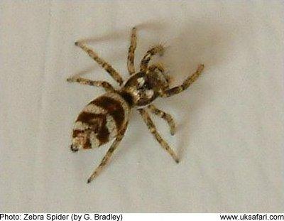Spiders Section Uk Safari