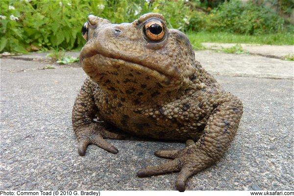 common toads bufo bufo uk safari