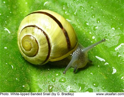 Forms Of Matter >> Banded Snails - Cepaea nemoralis - Cepaea hortensis - UK Safari