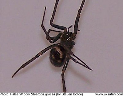 Brown Black Widow False Widow Spiders - ...