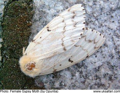 Gypsy Moths Lymantria Dispar Uk Safari