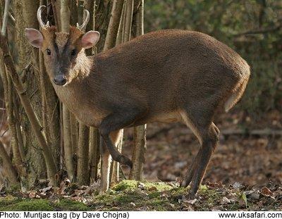 Muntjac Deer Muntiacus Reevesi Uk Safari