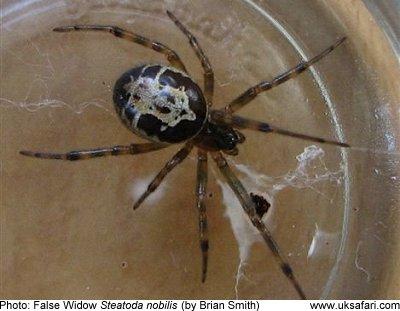 Noble False Widow Spiders Steatoda Nobilis Uk Safari