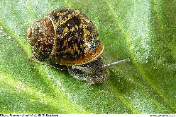 Garden Snails - Helix aspersa - UK Safari