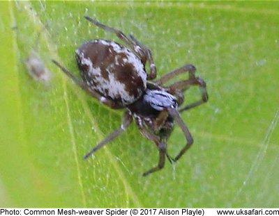 Uk Garden Spider Identification | Fasci Garden
