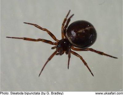 Spiders Section - UK Safari