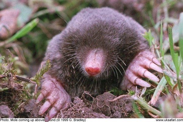 Moles , Talpa europaea , UK Safari